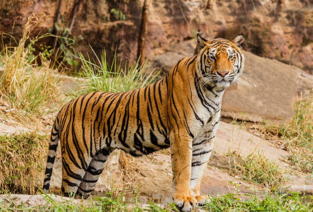 Ook de tijger wordt beter van duurzame suikerteelt in india.