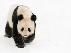 Fornuizen helpen de reuzenpanda