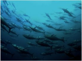 WNF en universiteiten starten onderzoek naar terugkeer iconische blauwvintonijnen in Noordzee